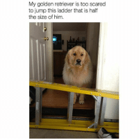 Follow me @antisocialtv @lola_the_ladypug @x__social_butterfly__x @x__antisocial_butterfly__x: My golden retriever is too scared  to jump this ladder that is half  the size of him. Follow me @antisocialtv @lola_the_ladypug @x__social_butterfly__x @x__antisocial_butterfly__x
