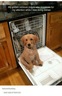 Golden Retriever: My golden retriever puppy was desperate for  my attention while was doing dishes  the bestoftumbling:  GIVE HER ATTENTION