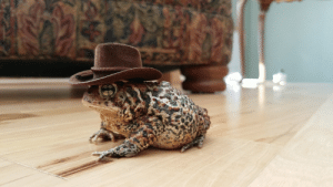 My good little toad sheriff: My good little toad sheriff