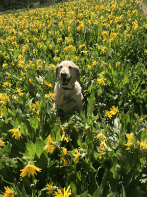 Colorado, Good, and Pupper: My good pupper Andi amongst wildflowers in Colorado :)