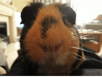 Cute, Camera, and Guinea Pig: My guinea pig likes my camera