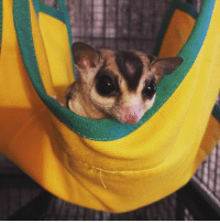 My husband and I adopted this pair of sugar gliders today.: My husband and I adopted this pair of sugar gliders today.