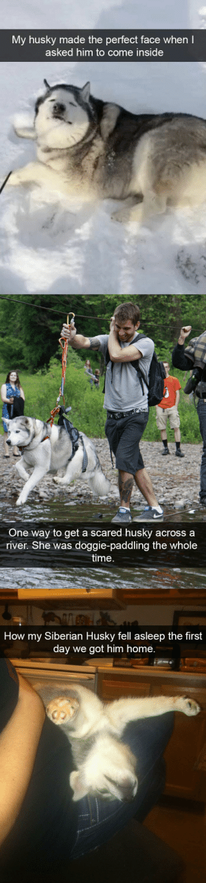 animalsnaps:Husky snaps: My husky made the perfect face when  asked him to come inside   One way to get a scared husky acrossa  river. She was doggie-paddling the whole  time   How my Siberian Husky fell asleep the first  day we got him home.  r. animalsnaps:Husky snaps