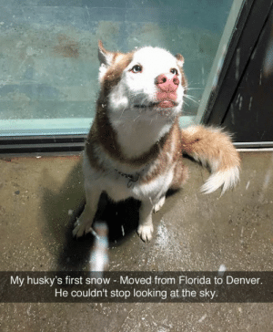 Denver, Florida, and Snow: My husky's first snow Moved from Florida to Denver.  He couldn't stop looking at the sky Im gonna cry 😫