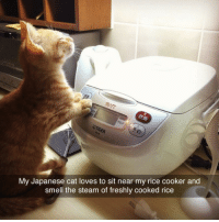 Club, Smell, and Steam: My Japanese cat loves to sit near my rice cooker and  smell the steam of freshly cooked rice laughoutloud-club:  Japanese Cat And Rice
