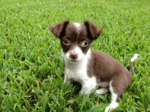 My Lazy-Eyed Chihuahua Pup Seven Years Ago Reddit Meet Olivia