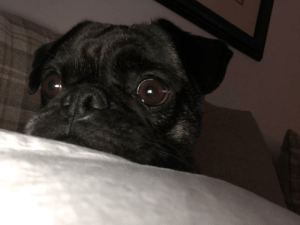 My lil Derp monster Harley the Frug, (Frenchie Cross Pug): My lil Derp monster Harley the Frug, (Frenchie Cross Pug)