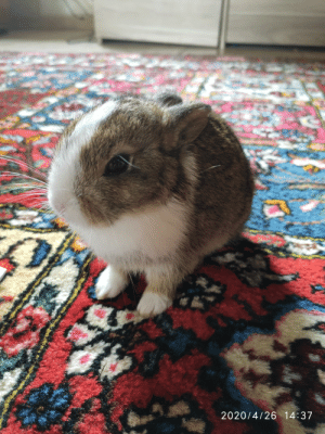 My little brother adopted a stray rabbit wandering in our garden , guess who peed on the 2500€ persian carpet: My little brother adopted a stray rabbit wandering in our garden , guess who peed on the 2500€ persian carpet