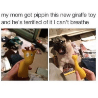 Memes, Pippin, and 🤖: my mom got pippin this new giraffe toy  and he's terrified of it I can't breathe LOL @idiosyncrat