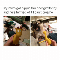 Moms, Giraffe, and Pugs: my mom got pippin this new giraffe toy  and he's terrified of it I can't breathe I WANT A PUG