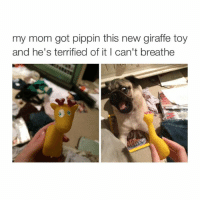 Dogs, Moms, and Giraffe: my mom got pippin this new giraffe toy  and he's terrified of it l can't breathe My account is 99% dogs