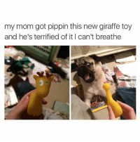 Cute, Memes, and Giraffe: my mom got pippin this new giraffe toy  and he's terrified of it I can't breathe (@doggosdoingthings) is a hecking awesome page for cute doggos.