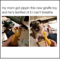 Funny, Memes, and Giraffe: my mom got pippin this new giraffe toy  and he's terrified of it I can't breathe 12 FUNNY MEMES OF THE DAY