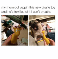 Memes, Scare, and Giraffe: my mom got pippin this new giraffe toy  and he's terrified of it I can't breathe Noo don't be scared Pippin 😂 @pugs