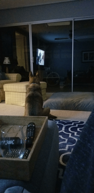 Watches, Dog, and Via: My mostly blind dog watches TV via the reflection of the window