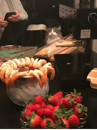 My mother in laws cat is obsessed with shrimp. She makes this face whenever there is shrimp on the table.: My mother in laws cat is obsessed with shrimp. She makes this face whenever there is shrimp on the table.