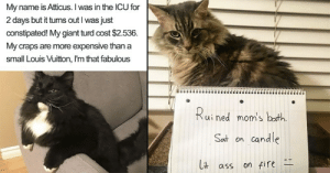 memehumor:  18 Naughty Cats Who Are Just Begging To Be Shamed: My name is Atticus. I was in the ICU for  2 days but it turns out I was just  constipated! My giant turd cost $2.536.  My craps are more expensive than a  small Louis Vuitton, I'm that fabulous  ui ned mom's Dctth  Sat on candle  ass on fire memehumor:  18 Naughty Cats Who Are Just Begging To Be Shamed
