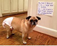 Butt, Dank, and Soon...: My name is Biscuit  are a large tube  of Now I have to wear a  doggie diaper because  butt Get well soon.  www.unilad.com