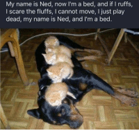 Scare, Word, and Dog: My name is Ned, now I'm a bed, and if I ruffs,  I scare the fluffs, I cannot move, I just play  dead, my name is Ned, and I'm a bed
