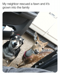 Family, Meme, and Memes: My neighbor rescued a fawn and it's  grown into the family (@x__social_butterfly_x) is the cutest meme page on IG! . . . Slide 1: Reddit u-DrapersASmallTown. Slide 2: reddit u-Power181440. Slide 3: reddit u-DrawThatRedStone. Slide 4: reddit u-GraveBreath)