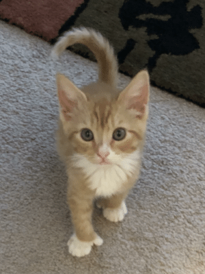 Kitten, Extra, and Finger: My newly adopted kitten is polydactyl! Both front paws have an extra finger so it looks like he has little thumbs :)