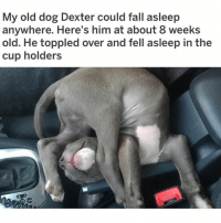 Fall, Meme, and Memes: My old dog Dexter could fall asleep  anywhere. Here's him at about 8 weeks  old. He toppled over and fell asleep in the  cup holders (@petroom) is my favorite animal meme account on IG! (Reddit u-FrogDogForever)