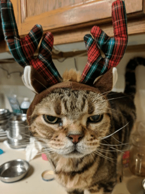 Christmas, Dad, and Memes: My pet-dad is at it again... That reminds me to wish everyone some very Happy Holidays  (Merry Christmas, Happy Hanukkah, Happy Kwanzaa, Happy New Year, etc.).      - - > Sparky the Red-nose ReindeerCat