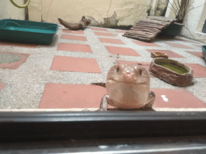 Glass, Pet, and Skink: My pet skink likes to come up to the glass to greet people.