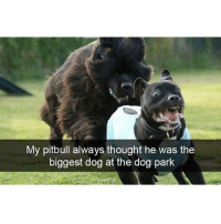 """I'm the big dog now"" (@hilarious.ted): My pitbull always thought he was the  biggest dog at the dog park ""I'm the big dog now"" (@hilarious.ted)"
