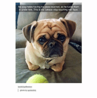"""-:: My pug hates having his paws touched, so he tucks them  in under him. This is his """"please stop touching me"""" face.  tasteful  offensive:  l (photo by ayeleesha) -:"""