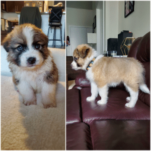 My pupper has gotten so big in just one month! Soon he'll be bigger than me! Great Pyrenees / Australian Shepherd mix: My pupper has gotten so big in just one month! Soon he'll be bigger than me! Great Pyrenees / Australian Shepherd mix