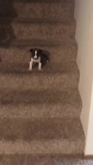 """How To, Puppy, and How: """"My puppy couldn't figure out how to get down the stairs, so he had a tantrum..."""" 😂😍🔊"""