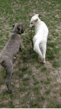 My puppy is attempting a dognapping with my friend's puppy: My puppy is attempting a dognapping with my friend's puppy