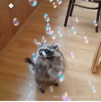 9gag, Family, and Memes: my raccoons family IG His weapons are no match for the reality stone By @my_raccoons_family raccoon thanos bubbles 9gag