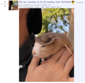 Tumblr, Blog, and Rams: My rat, Landon, in his lil cowboy hat! YEEHAW(Gred.t)  41337  submitted 21 hours ago by jericub  44 comments share save hide report [+c] rams-rodent-world:important