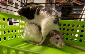 My rat turned his brother into a sofa: My rat turned his brother into a sofa