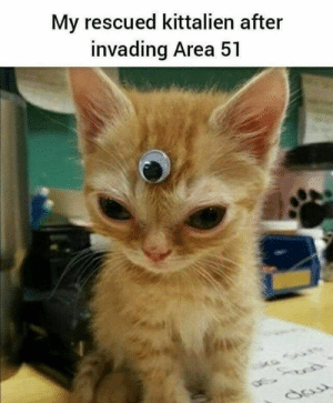 Everyone needs one of these kittaliens: My rescued kittalien after  invading Area 51 Everyone needs one of these kittaliens