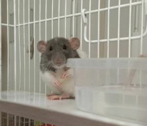My ridiculously cute pet rat, Pixie: My ridiculously cute pet rat, Pixie