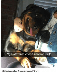 Funny, Grandma, and It's Lit: My Rottweiler when Grandma visits  Hilariously Awesome Dog ITS LIT
