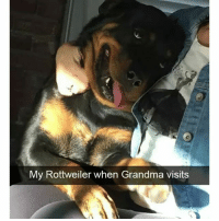 Funny, Grandma, and Ted: My Rottweiler when Grandma visits Rotties are the biggest sweet hearts (@hilarious.ted)
