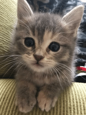 My sister rescues strays. One got preggers before she could get it spayed. This is one of the three kittens from that litter. Meet my new floof, Zucchini.: My sister rescues strays. One got preggers before she could get it spayed. This is one of the three kittens from that litter. Meet my new floof, Zucchini.