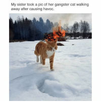 Memes, 🤖, and Cat: My sister took a pic of her gangster cat walking  away after causing havoc. Never trust a cat.