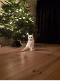 My sister's cat Luna decided to pose in front of the christmas tree. She's deaf and can't bend her right leg when sitting down: My sister's cat Luna decided to pose in front of the christmas tree. She's deaf and can't bend her right leg when sitting down