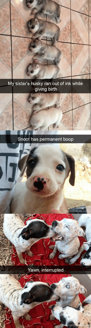 animalsnaps:Dog snaps: My sister's husky ran out of ink while  giving birth  re   Snoot has permanent boop  boredpanda.co   Yawn, interrupted  ored animalsnaps:Dog snaps