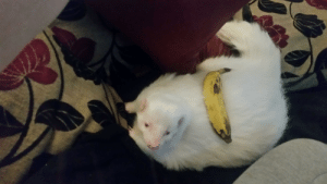 My skunk, banana for scale: My skunk, banana for scale