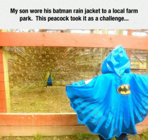 Batman, Peacock, and Rain: My son wore his batman rain jacket to a local farm  park. This peacock took it as a challenge... Birb: U wot m8