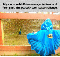 "Batman, Memes, and Yeah: My son wore his Batman rain jacket to a local  farm park. This peacock took it as a challenge. ""Oh yeah? It's on..."