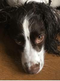 Christmas, Happy, and Her: My Springer Spaniel had her bath ready for Christmas. She was not happy with me.