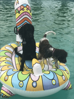 My two beautiful dogs on a llama floatie. Can you get cuter?: My two beautiful dogs on a llama floatie. Can you get cuter?