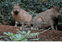 mike: My Two Capybara Friends  Killer Mike  and  Robert
